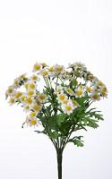 Mini Daisy Bush x9 27cm