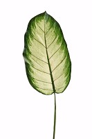 Giant Golden Dieff Single Leaf 100cm