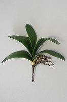 Phalaenopsis Leaves H:27cm