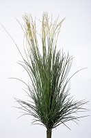 Plastic Mix Gras w/384 lvs 85cm