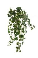 Boston Ivy Hanging Bush x13 72cm