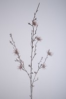 Chestnut Branch with Blossom 103cm