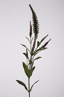 Veronica Spray w/7 flrs 71cm