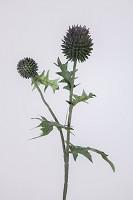 Echinops Spray x2 w/5lvs 55cm