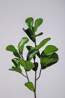 Ficus Pandupata Hance 72cm