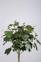 French Ivy Bush x8 w/89lvs 45cm