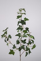 Boston Ivy Spray x3 w/53lvs