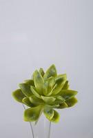 Succulent 13cm