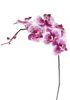 Single Phalaenopsis Spray