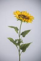 Sunflower x1 107cm