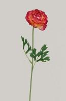 Mini Ranunculus Single Stem w/2 lvs 45cm