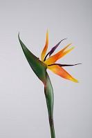 Bird of Paradise 80cm