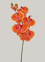 Phalaenopsis X5 fl. 1 Blossom 2 Buds