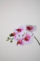 Phalaenopsis Spray w/5 flrs 46cm