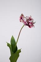 Tulip Parrot 62cm