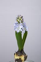 Hyacinth Bulb w/weight 20cm