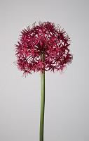 Allium Flower Stem 95cm