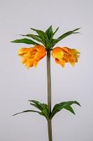 Fritillaria Imperialis 77cm