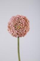 Allium Stem 75cm