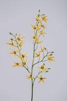Dendrobium Orchid Stem 91cm