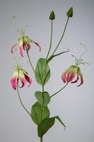 Gloriosa Superba 106cm