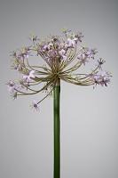Allium 77cm