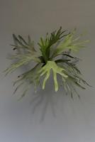 Staghorn w/14lvs 52cm