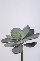Echeveria Single 17cm