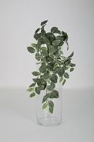Fittonia Hanging Bush x10 w/128 lvs