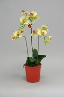 Phalaenopsis in Pot 62cm Green
