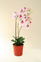 Phalaenopsis in Pot 62cm Light Purple
