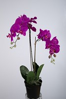 Phalaenopsis Spray x2 plastic pot 68cm