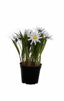 Daisy in black pot 20cm
