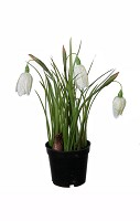 Fritillaria in black pot 24cm