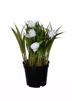 Snowdrop in black pot 19cm