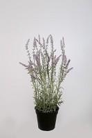 Lavender in pot 48cm