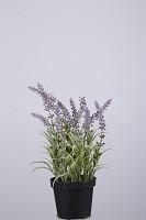 Lavender in pot  25cm