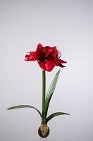 Amaryllis Pl w/ Bulb 58cm