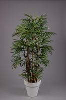 Honey Lady Palm x15w/950lvs  180cm