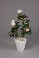 Magnolia Tree in Plastic Pot Cream 90cm