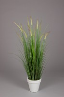 Dogtail/Grass With Plastic Pot 150cm