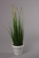 Dogtail/Grass With Plastic Pot 120cm