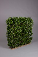 Boxwood Hedge 90cm