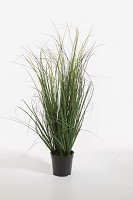Curly Grass in Pot 64cm