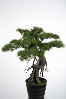 Pine Bonsai in Pot 69 cm