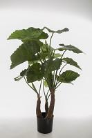 Alocasia Calidora w/20lvs &2 Buds 120cm