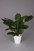 Calathea Roseopicta Potted Plant 62cm