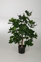 Clusia Potted Plant w/203lvs 70cm