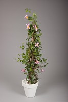 Clematis 'President' Tower Plant w/492lv