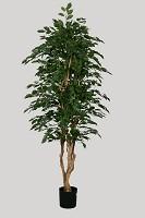 Ficus Exotica Multi Tree w/1650lvs 182cm